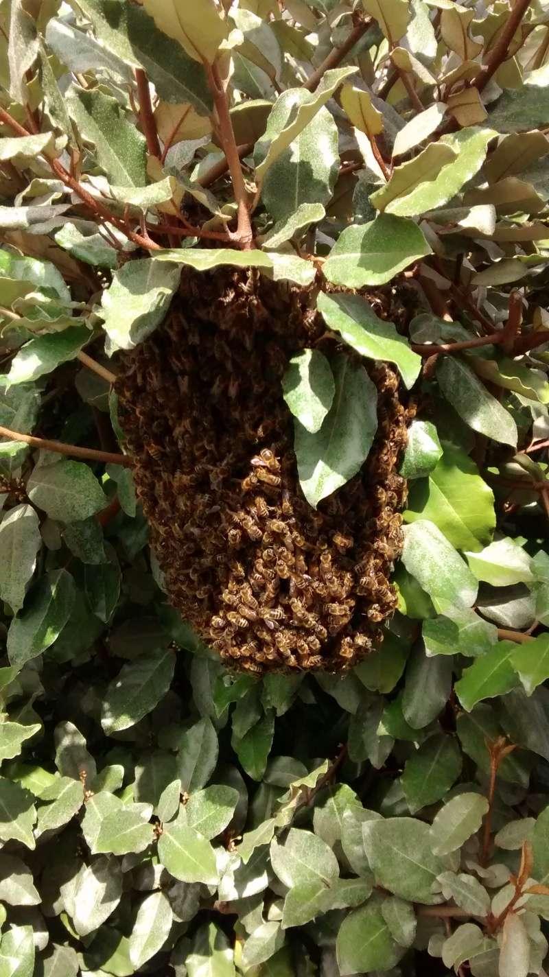 ruche blindée...couvain pourri Essaim10