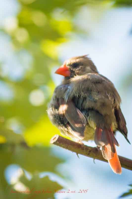 Cardinal rouge Img_8210