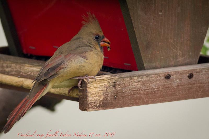 Cardinal femelle Img_8812
