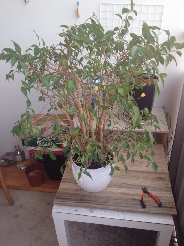 From Trash Room Benjamina to Banyan Bonsai. :) 11165910