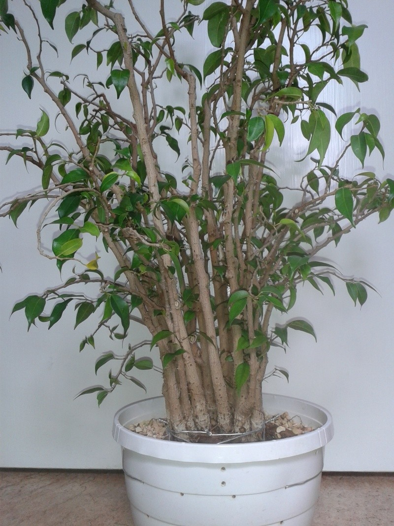 From Trash Room Benjamina to Banyan Bonsai. :) 20150610