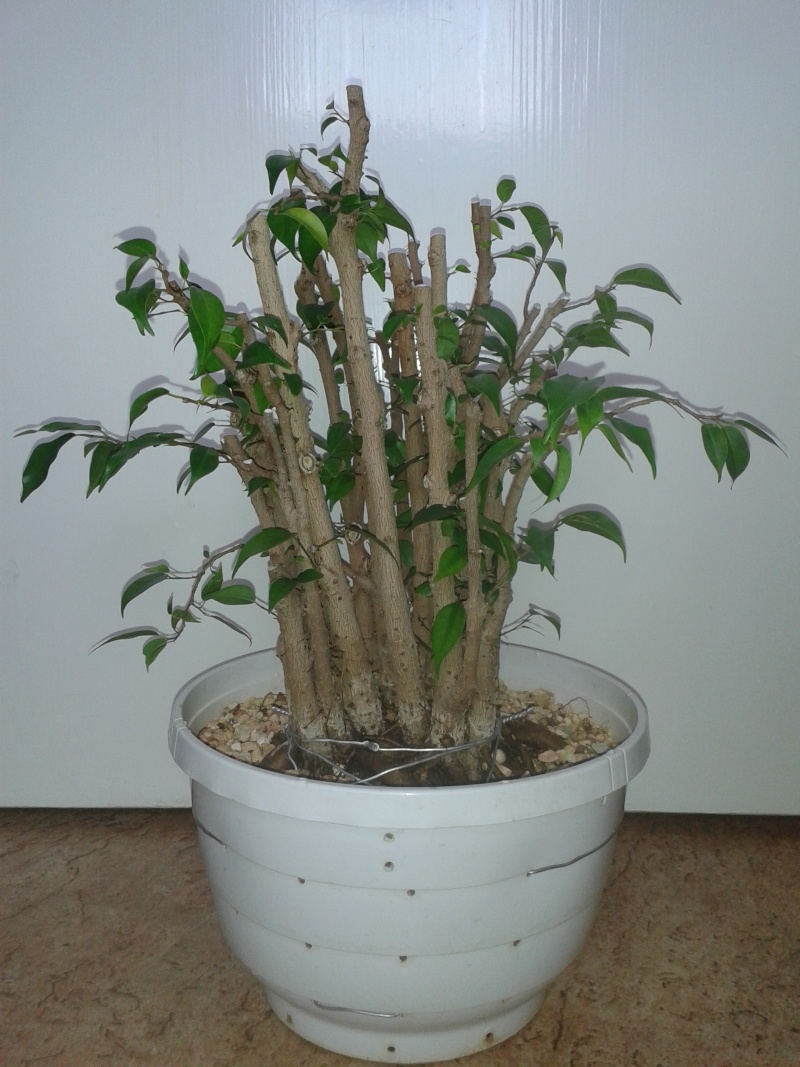 From Trash Room Benjamina to Banyan Bonsai. :) 20150611