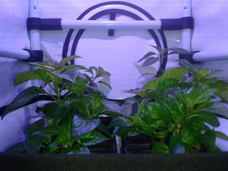 Indoor Bonsai under LED lights. - Page 10 20151017