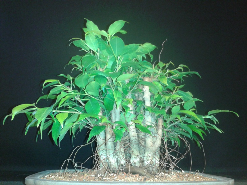 From Trash Room Benjamina to Banyan Bonsai. :) 20151021