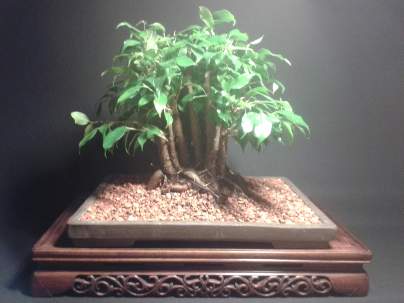 From Trash Room Benjamina to Banyan Bonsai. :) 20151022