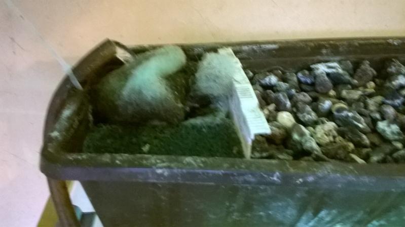Mauremys sinensis Wp_20124
