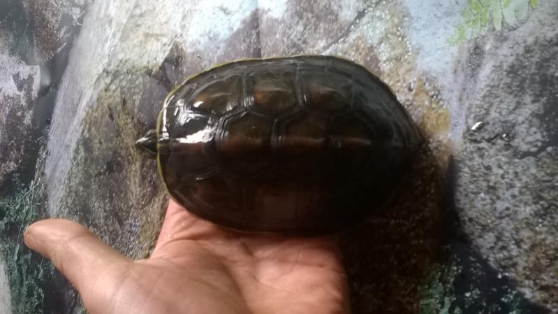 Mauremys sinensis Fredturtle Wp_20148