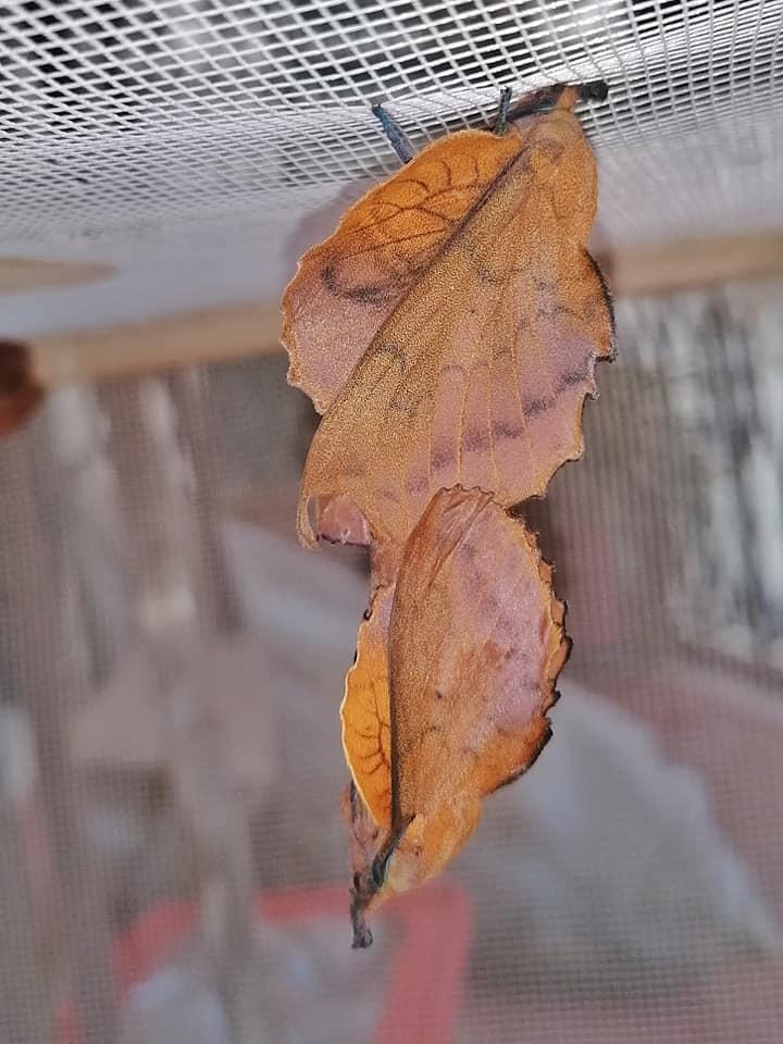 Gastropacha quercifolia, F2 Samia ricini x luzonica, F1 Samia (ricini x luzonica) x cynthia 10504910
