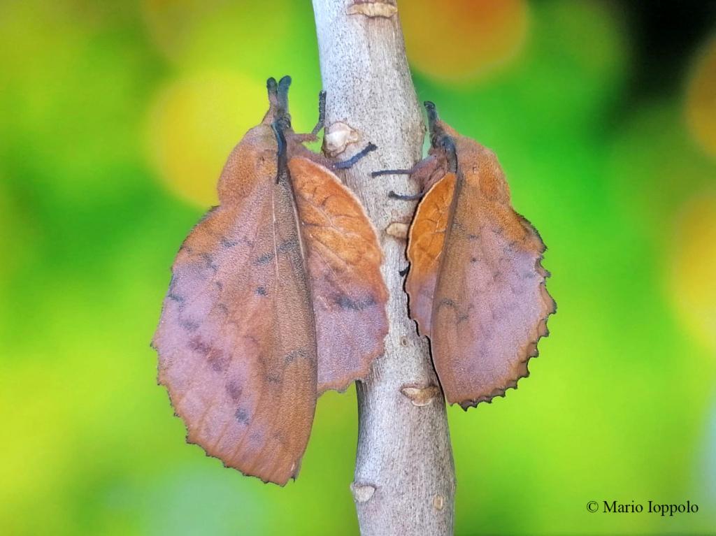 Gastropacha quercifolia, F2 Samia ricini x luzonica, F1 Samia (ricini x luzonica) x cynthia G_quer10