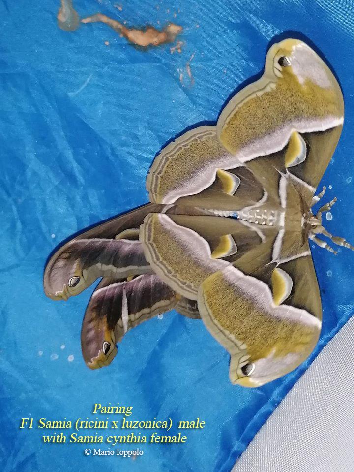 Hybrid oeufs: Samia ricini x luzonica et Samia (ricini x luzonica) x Samia cynthia Ricilu10