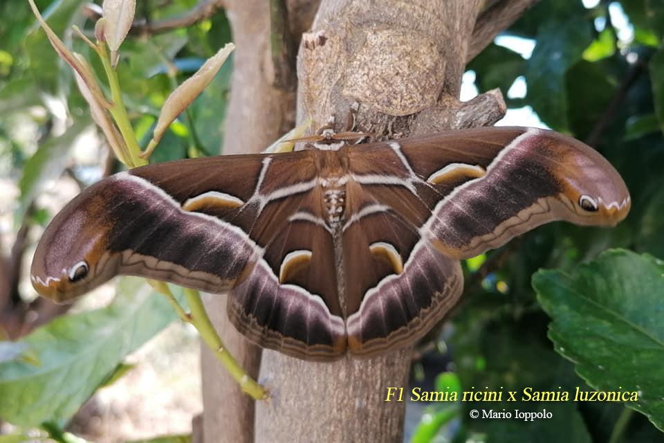 Gastropacha quercifolia, F2 Samia ricini x luzonica, F1 Samia (ricini x luzonica) x cynthia Ricini12