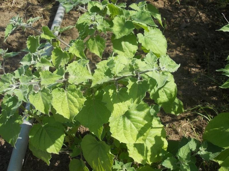 Physalis comestible : Coqueret du Pérou  Dscn6617