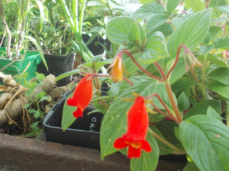 Seemannia nematanthodes 'Evita'  Dscn6715