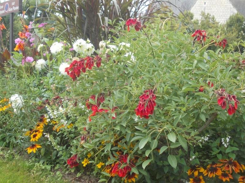 Très jolie plante que je ne connais pas : Erythrina crista-galli Dscn6928