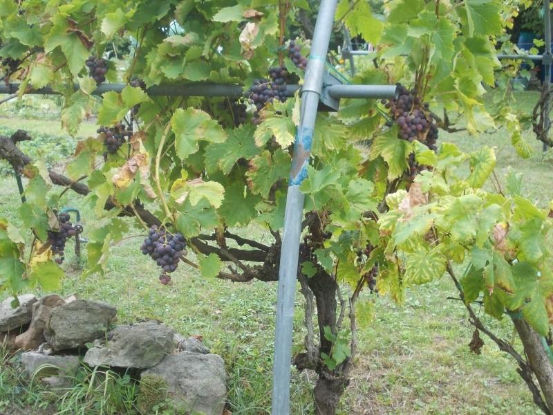 Avez-vous une vigne ? Dscn7011