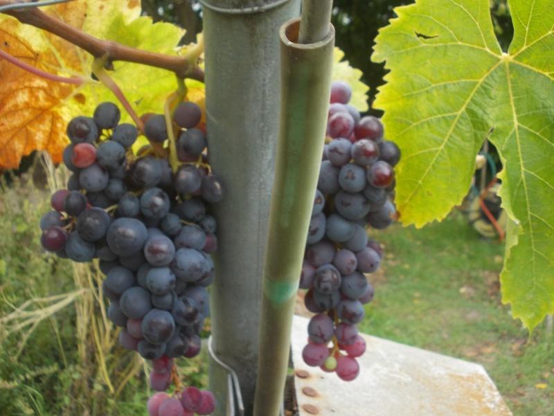 Avez-vous une vigne ? Dscn7012