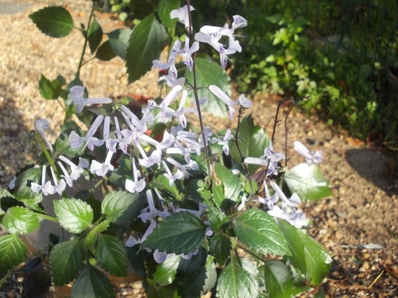 Plectranthus 'Mona Lavender' Dscn8221