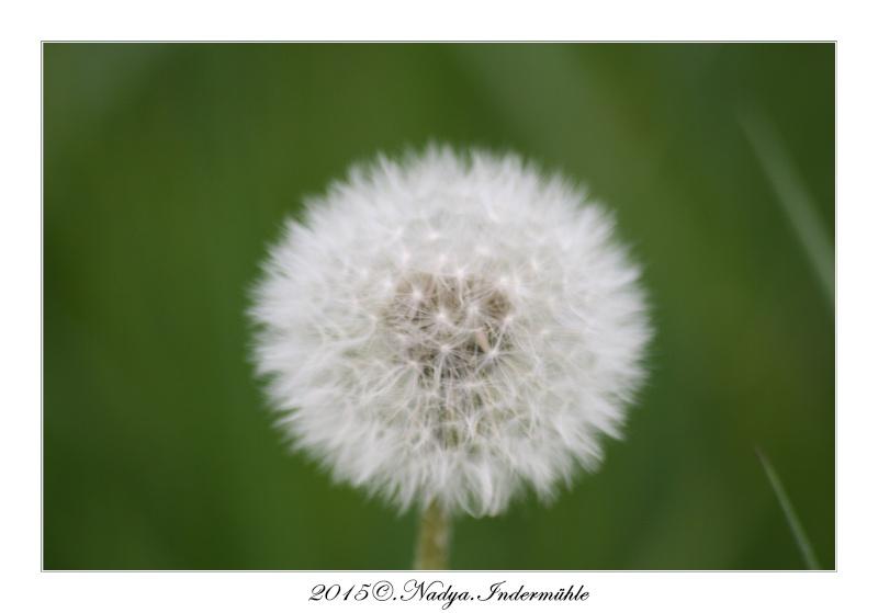 Fleur de pissenlit Cadre146