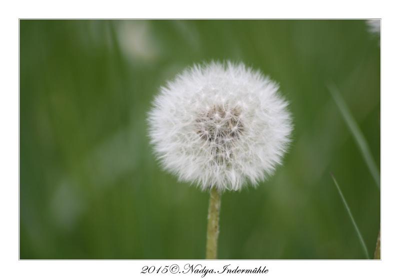Fleur de pissenlit Cadre147