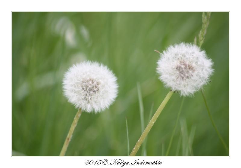 Fleur de pissenlit Cadre148