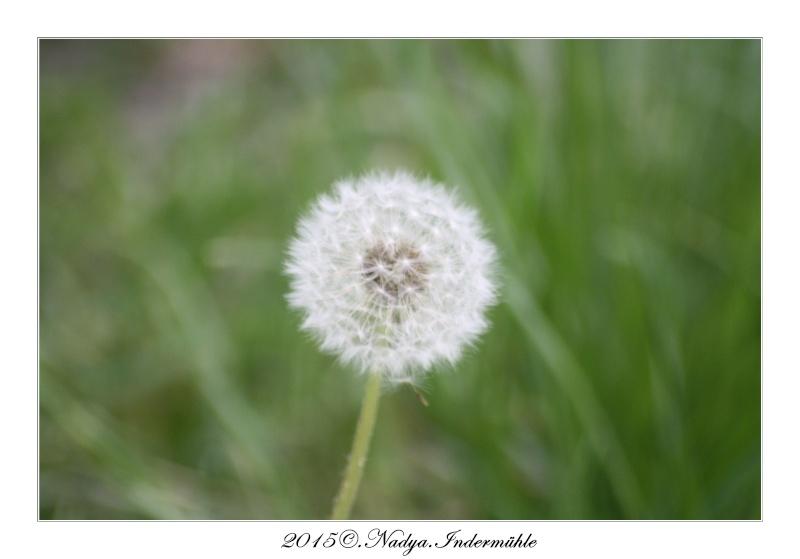Fleur de pissenlit Cadre151