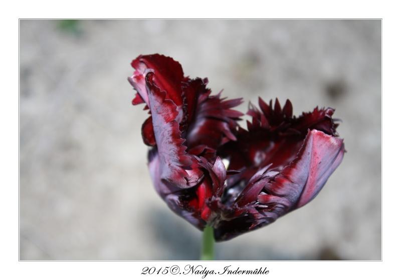 Les tulipes Cadre179