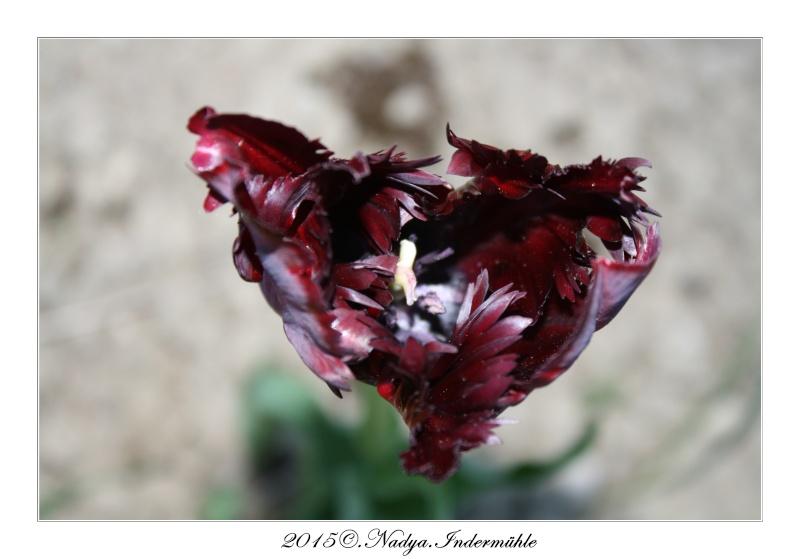 Les tulipes Cadre181