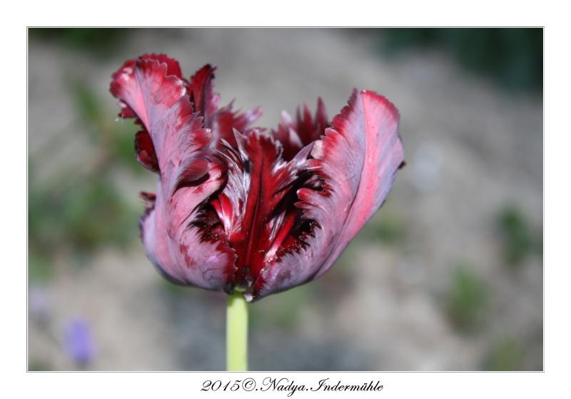 Les tulipes - Page 2 Cadre182