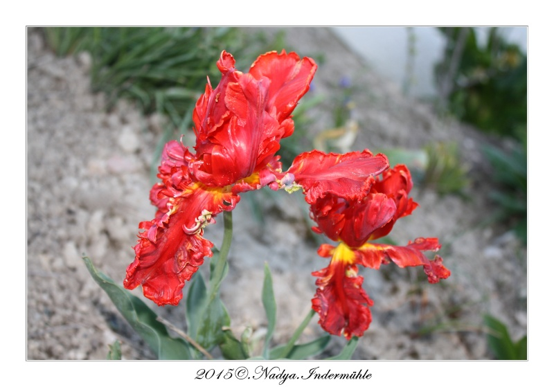 Les tulipes - Page 2 Cadre184