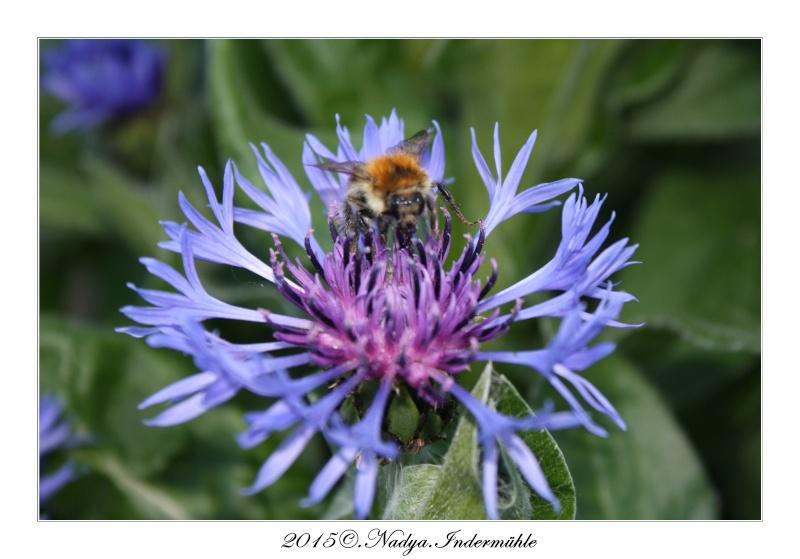Les abeilles. Cadre189