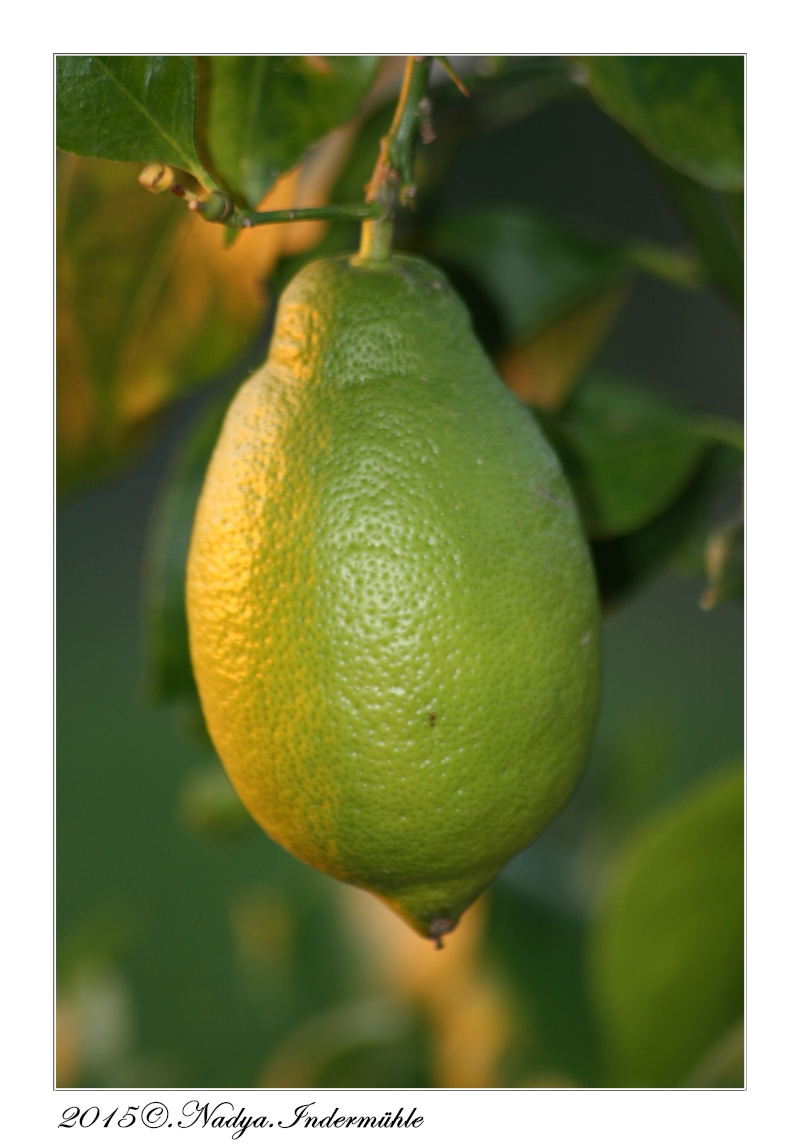 Le citronnier Cadre306