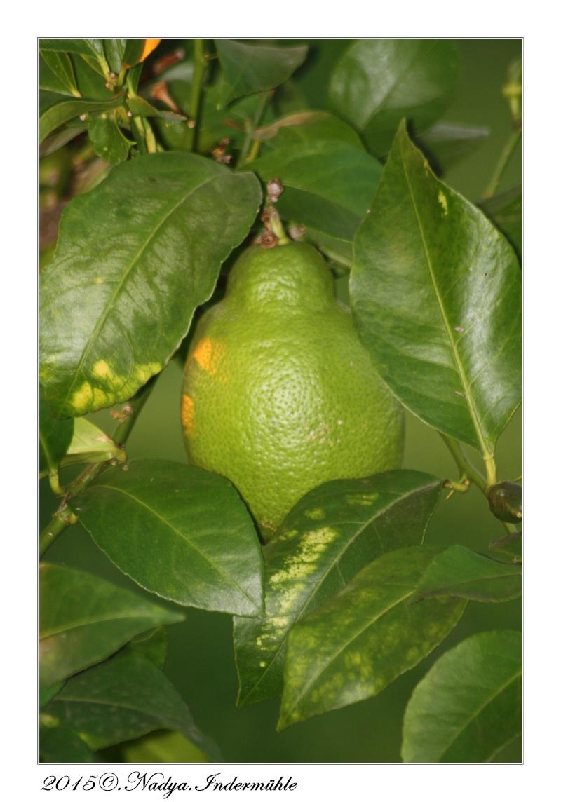 Le citronnier Cadre308