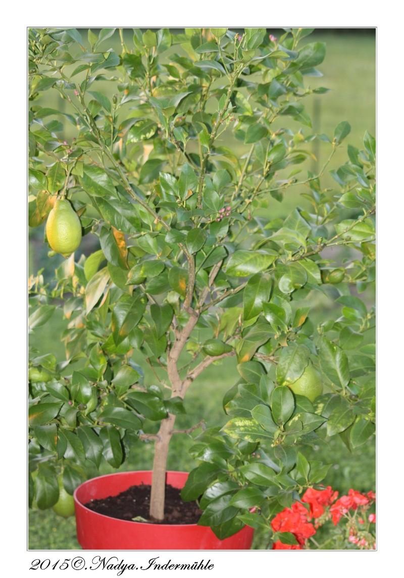 Le citronnier Cadre309