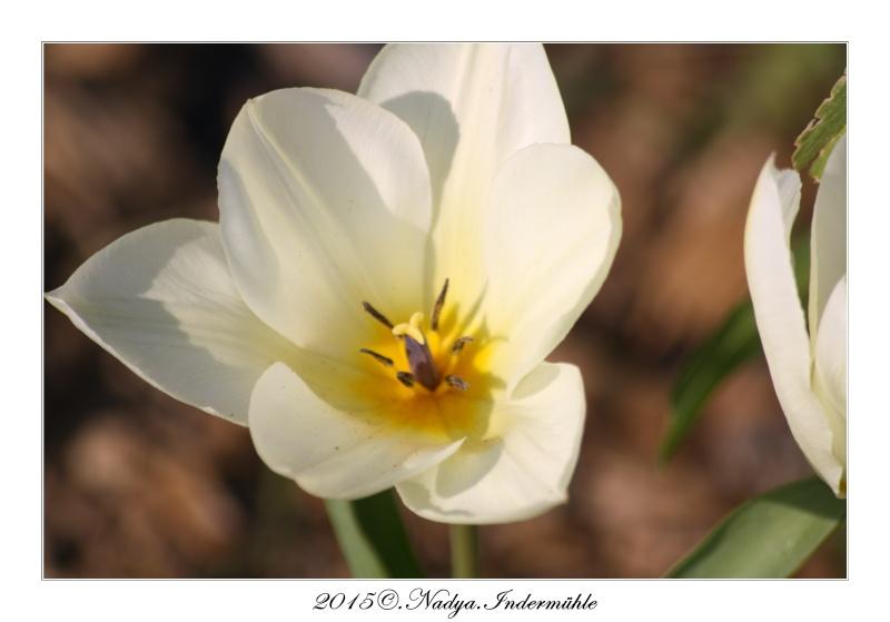 Les tulipes - Page 2 Cadrer17