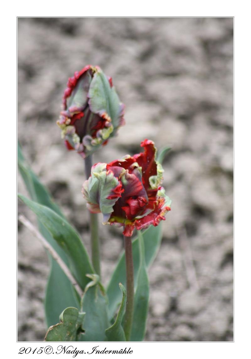 Les tulipes - Page 2 Cadrer56