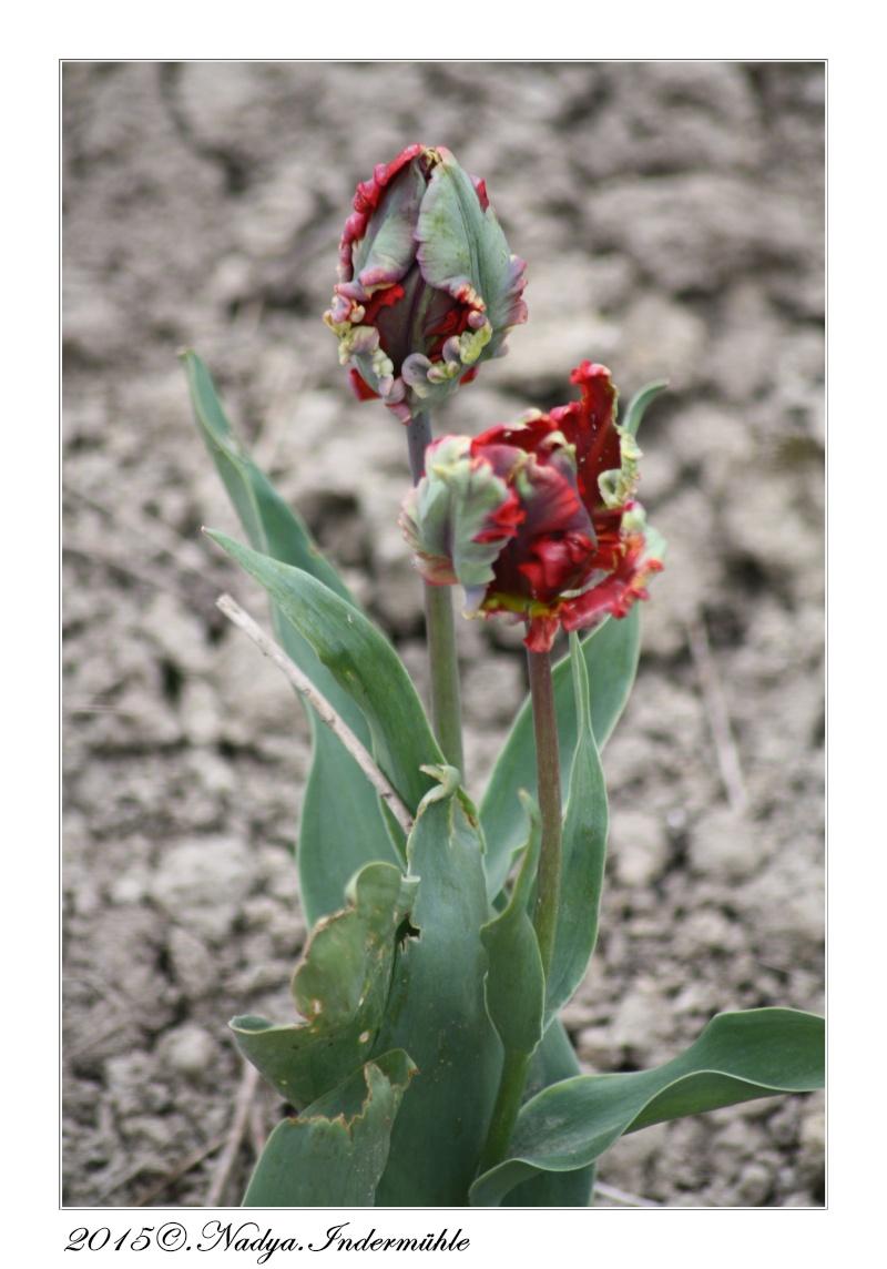 Les tulipes - Page 2 Cadrer57