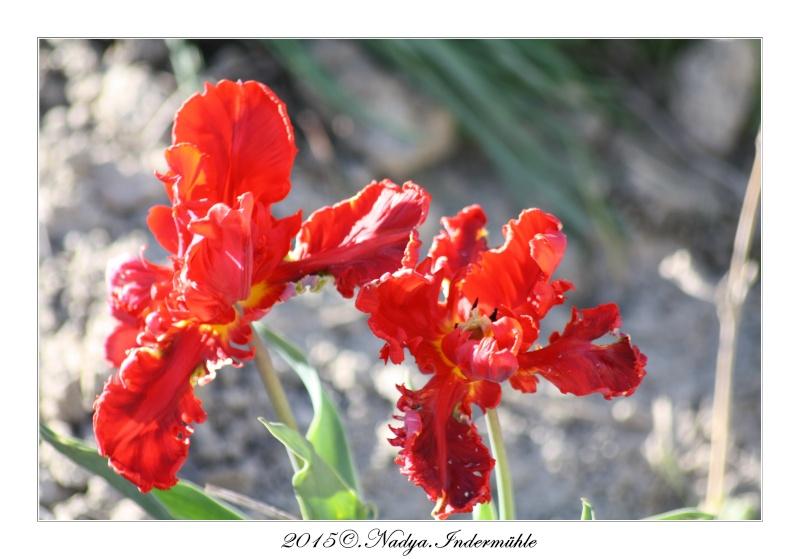 Les tulipes Cadrer82