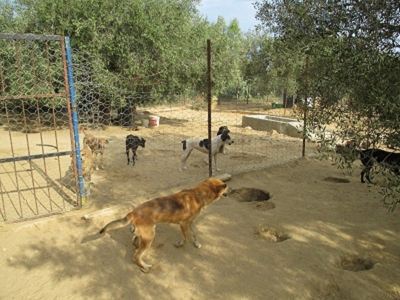 Association PAT (Protection Animaux de Tunisie) Chiens11