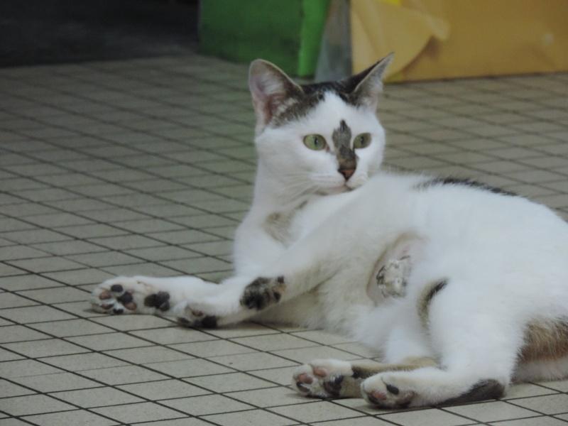 Izarra, femelle de type européen, tigrée et blanche, née le 01/09/2013 Dscn3126