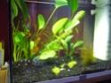 Anubia translucide P1090925