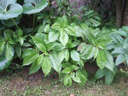 Pilea plataniflora Dscf2411