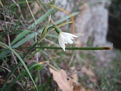 Acis autumnalis - nivéole d'automne Dscf4010