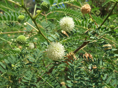 Leucaena leucocephala Dscf5110