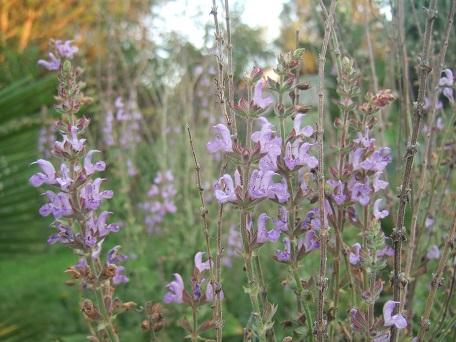 Salvia kopetdaghensis Dscf7715