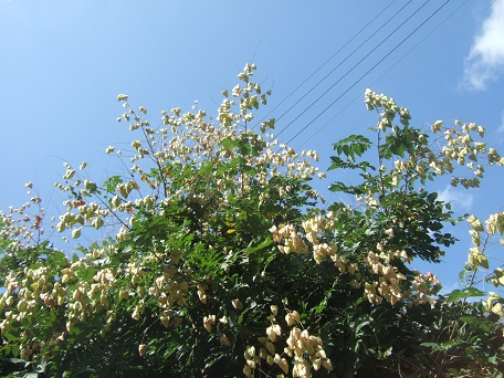 Koelreuteria paniculata - savonnier - Page 2 Dscf7732