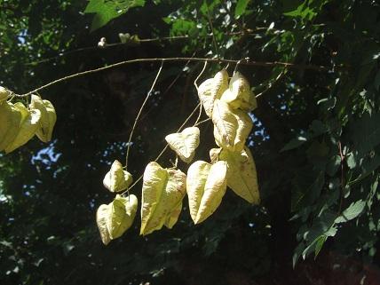 Koelreuteria paniculata - savonnier - Page 2 Dscf7733