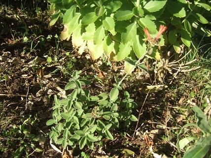 Dicliptera sericea (= Dicliptera suberecta) - Page 2 Dscf7824