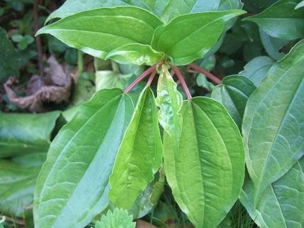 Pilea plataniflora Dscf7840