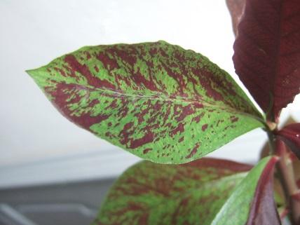 Euphorbia umbellata (= Synadenium umbellatum) Dscf7844