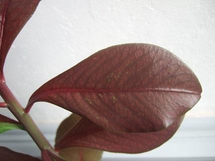 Euphorbia umbellata (= Synadenium umbellatum) Dscf7845